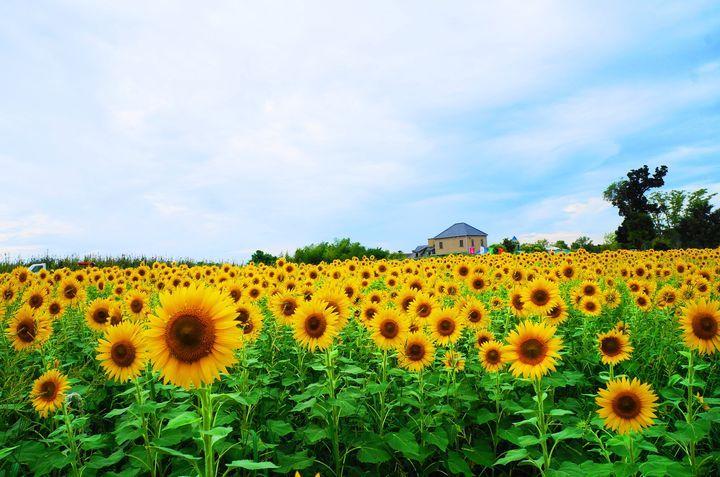 夏限定の黄色の絶景を見逃さないで!関西の絶景ひまわり畑12選